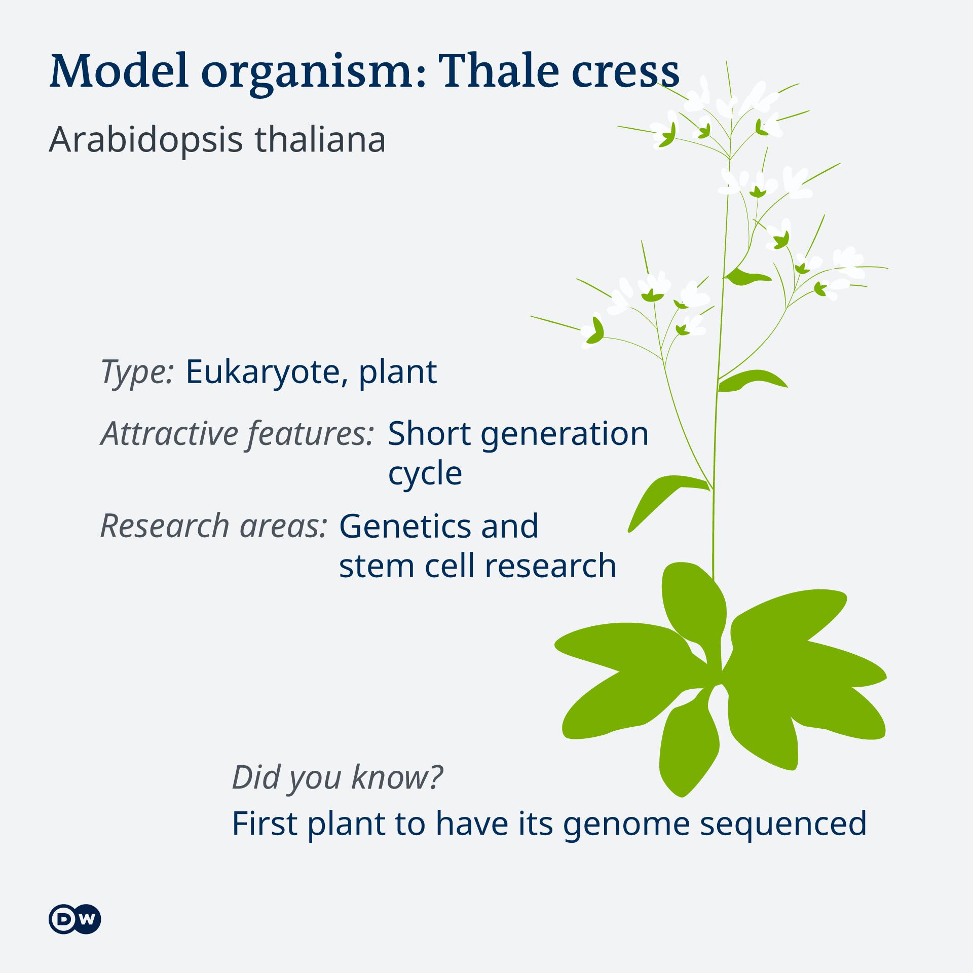 Infografik Model organism Thale cress EN