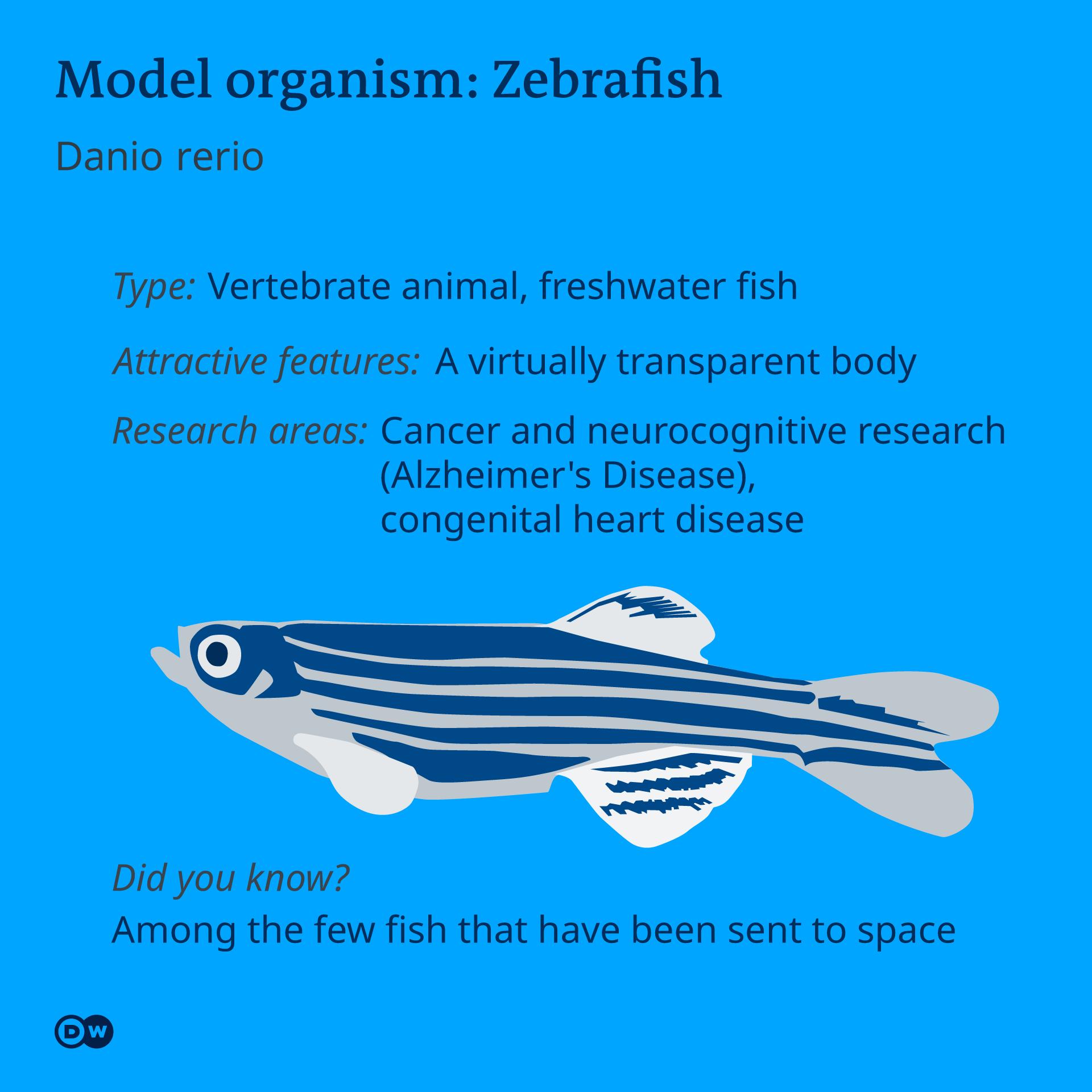 Infografik Model organism Zebrafish EN