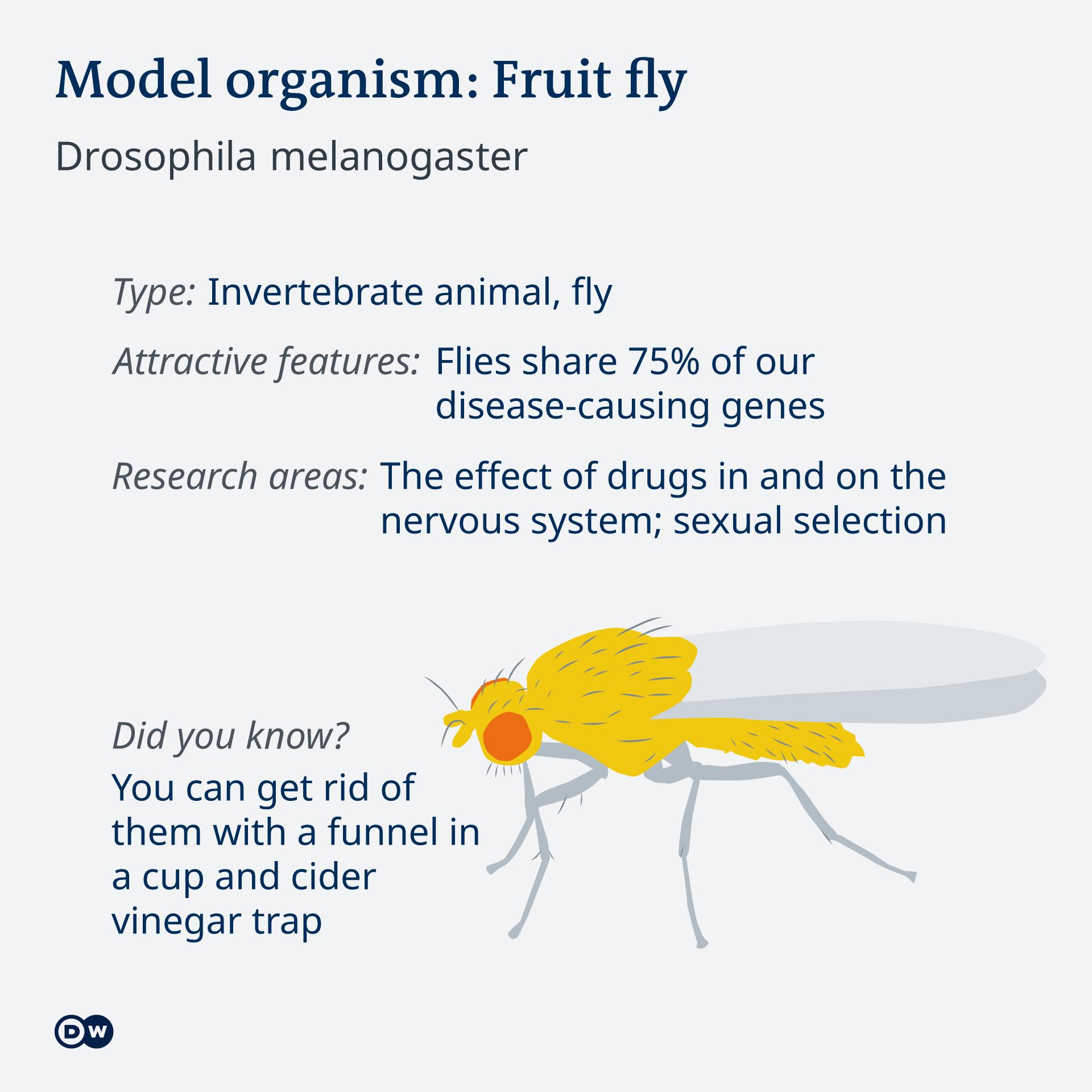Infografik Model organism Fruitfly EN