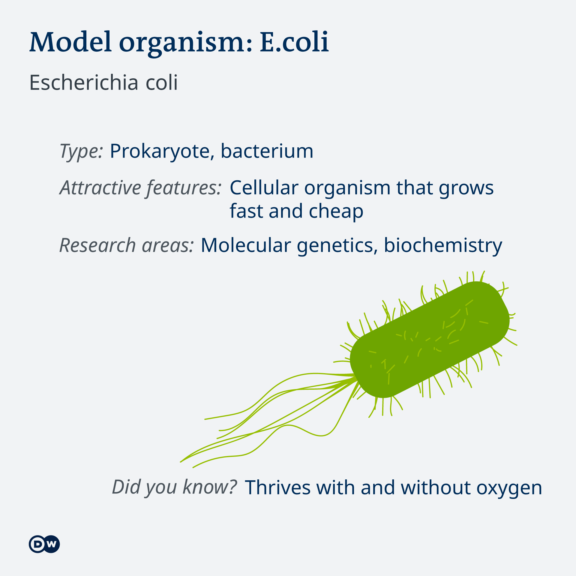 Infografik Model organism E.Coli EN