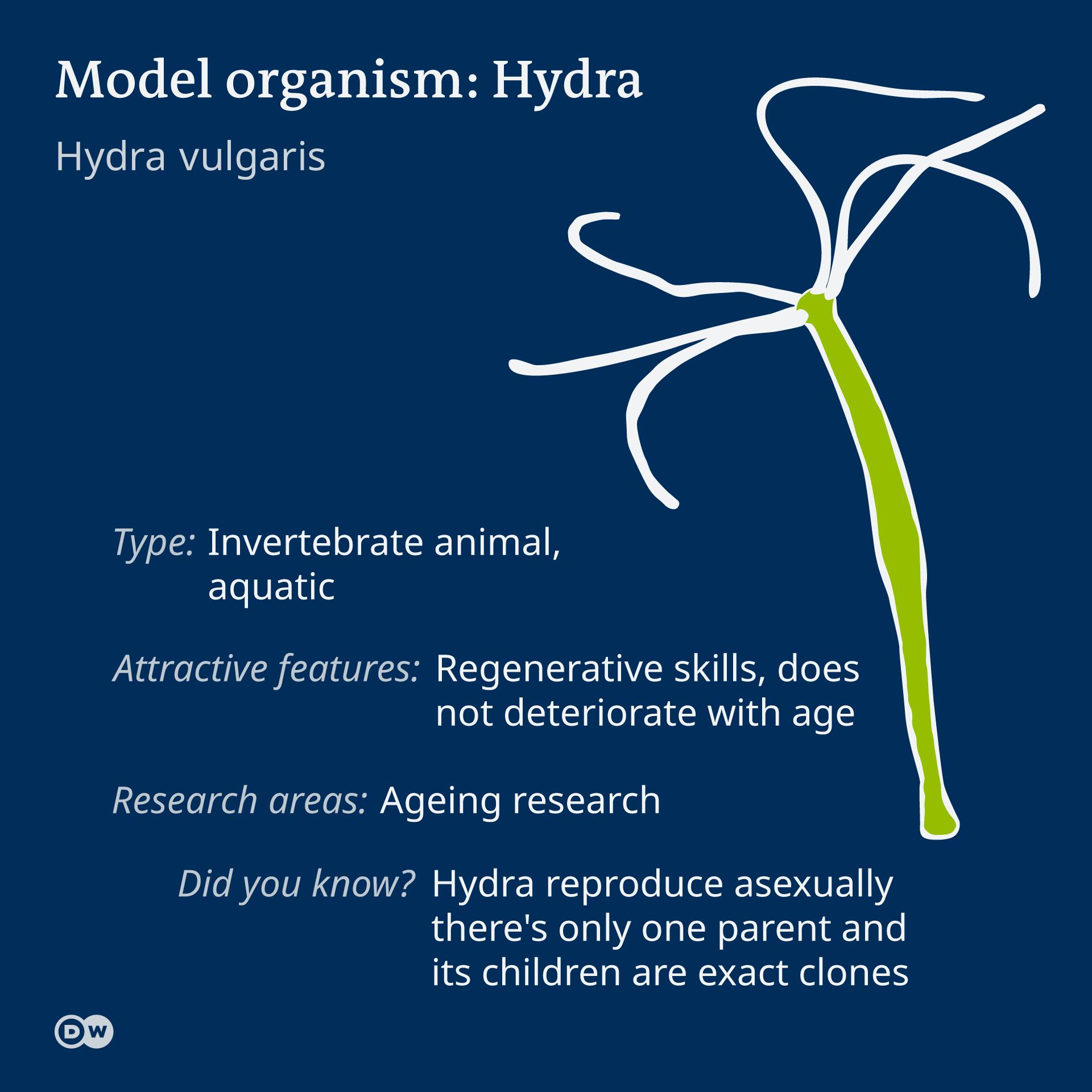 Infografik Model organism Hydra EN