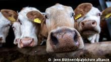 Bio-Fleisch vom Gut-Darß Nutztierhaltung Kühe
