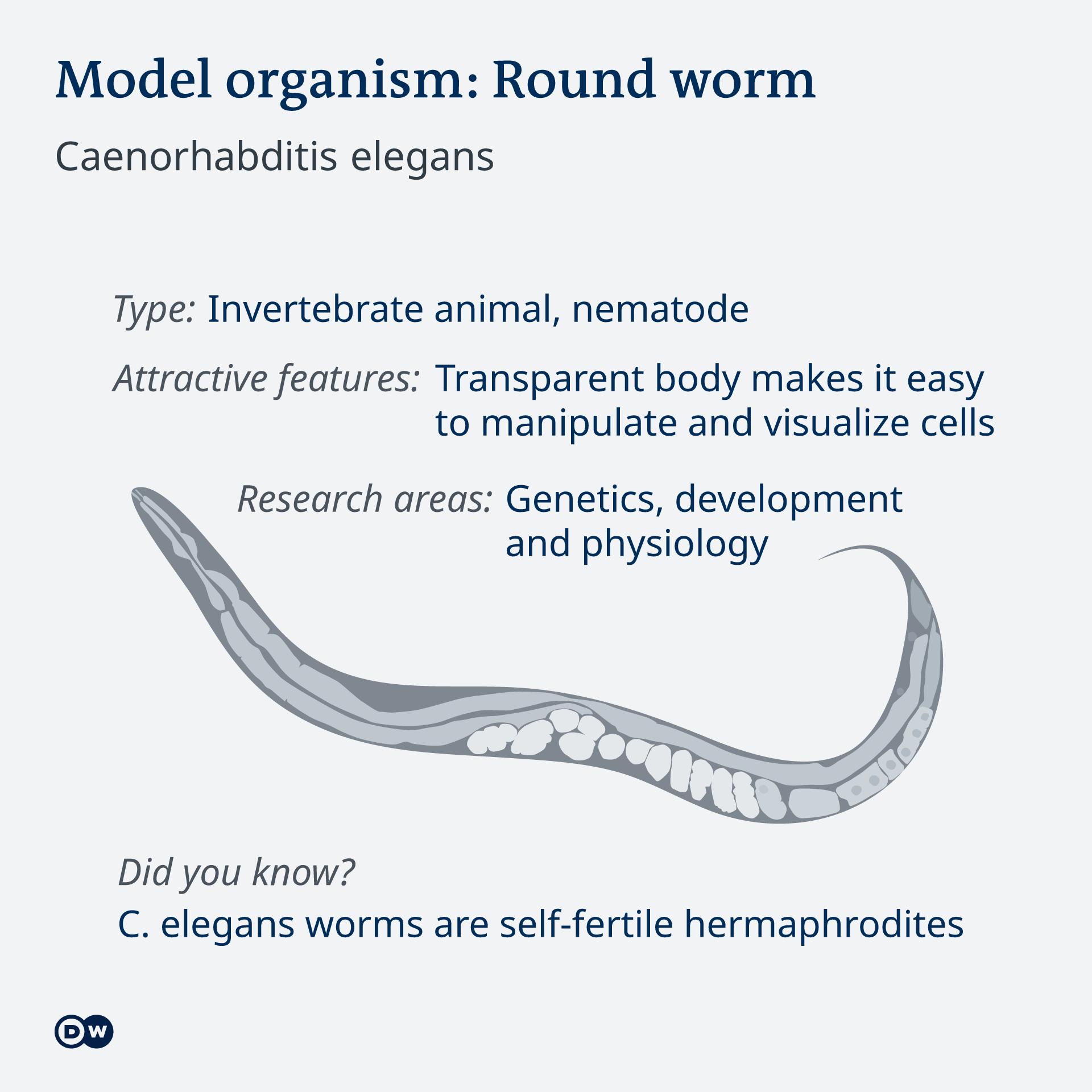Infografik Model organism worm EN
