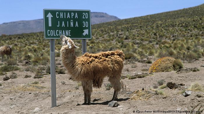 Ova kratkovida lama u rezervatu na severu Čilea nije retkost. Tamo postoji vrsta lame koja ume da čita, ali je zato izgubila prirodnu sposobnost orijentacije i - da pljuje. Evolucija. :-)