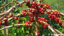 Indonesien 2020 indonesische Kaffeepflanze