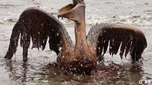 A brown pelican is seen on the beach at East Grand Terre Island along the Louisiana coast on Thursday, June 3, 2010. Oil from the Deepwater Horizon has affected wildlife throughout the Gulf of Mexico. (AP Photo/Charlie Riedel)