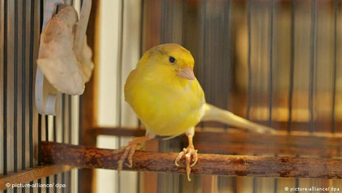 A canary in a cage (picture-alliance/ dpa)