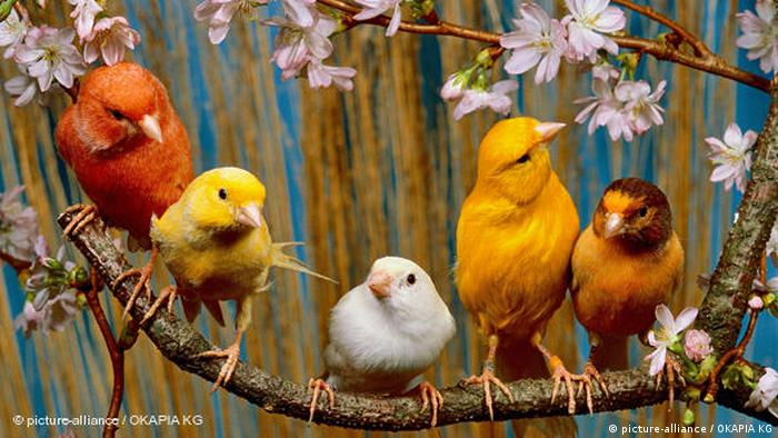 Canary birds sit on a branch (picture-alliance / OKAPIA KG)
