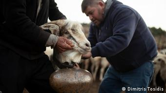 Ο Νίκος Σαΐτης τοποθετεί μία κουδούνα σε μία αρσενική κατσίκα