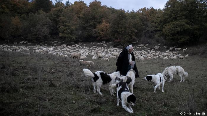 Giorgos Anthoulis feeds his sheepdogs in the early morning in Greece