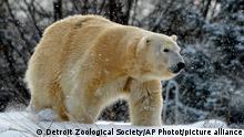 USA Eisbär im Zoo wurde getötet