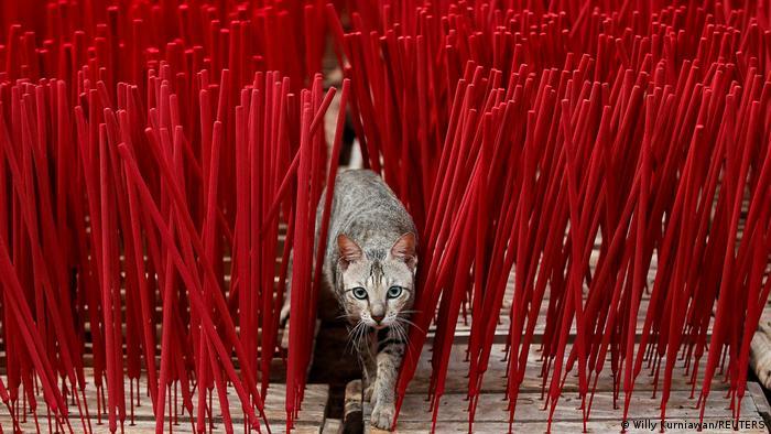 Uoči Kineske nove godine (12.2.) ova fabrika u blizini Džakarte u Indoneziji ima pune ruke posla. Oni proizvode tradicionalne mirišljave štapiće. A među štapiće se jutros oprezno uvukla i ova maca.