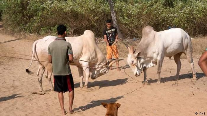 Indien Goa | Stierkämpfe im Untergrund