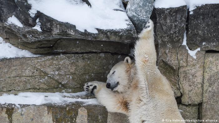 Белые медведица Герта