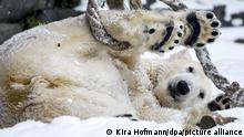 Die zweijährige Eisbärin Hertha erfreut sich im Tierpark am Schnee und spielt mit einem Tau. +++ dpa-Bildfunk +++