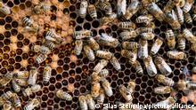 Unzählige Bienen auf einer Brutwabe.