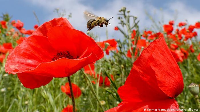 En Alemania y el mundo las poblaciones de abejas han sido decimadas por el uso masivo de plaguicidas que envenan también a los animales útiles.