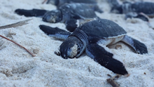 Turtle police looking after freshly hatched youngsters