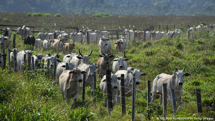 A herd of cattle is seen at a farm in Ruropolis, Para state, Brazil, in the Amazon rainforest