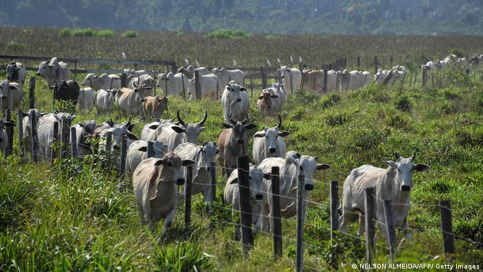 Gado em fazenda no Pará