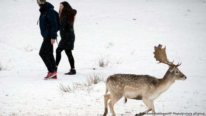 Un ciervo pasea por los nevados prados del parque Knole, cerca de Kent, en el sur de Inglaterra. El animal parece no prestar mayor atención a las personas que caminan por ahí. Gracias a su grueso pelaje, las bajas temperaturas no les hacen mella a los ciervos.