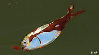 A dead, oil-coated fish floats on the water
