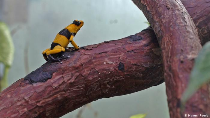 The endangered Lehmann's Poison Frog rests in its terrarium at the Tesoros de Colombia breeding center.