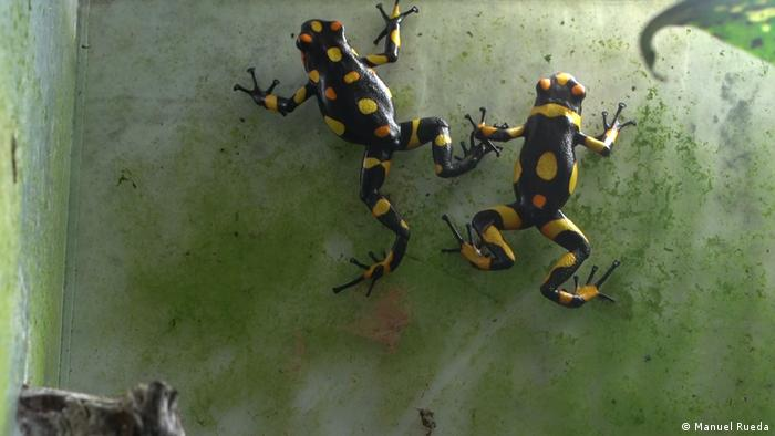 The harlequin frogs bred by Tesoros de Colombia.