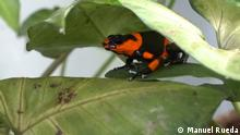 Urheber: Manuel Rueda Ort: Colombia 2. A harlequin frog or Oophaga Histrionica rests in a terrarium at the Tesoros de Colombia breeding center in Cundinamarca, Colombia on Jan 28.