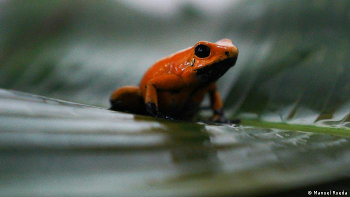A golden poison frog rests on a leaf at the breeding facility in Colombia.