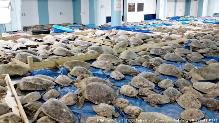 Ovo je samo jedna prostorija centra za evakuaciju u Teksasu u kojem se nalazi bezbroj kornjača. Zbog neobično jake zime sa mnogo snega, ugrožene su i ove životinje - koje se paralizuju ili uspavaju od hladnoće - pa ih ljudi skupljaju i donose u toplo, dok nevreme ne prođe.