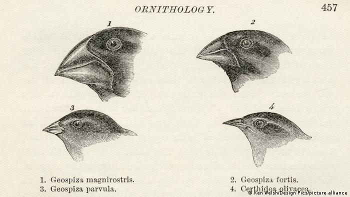 Drawings of finch beaks by Charles Darwin