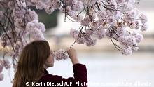 USA Washington | Coronavirus | Kirschblüten riechen