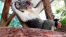 Australien Lismore | Koala mit Fußprothese