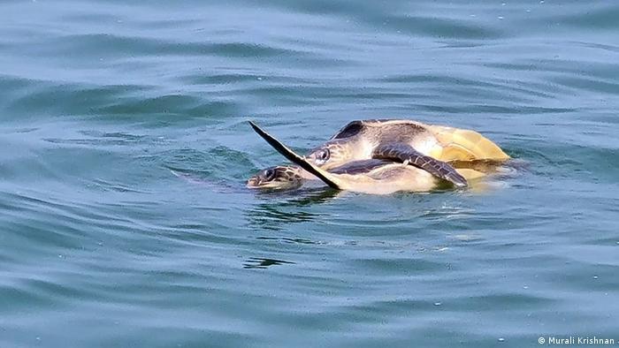 A sea turtle off the Indian coast