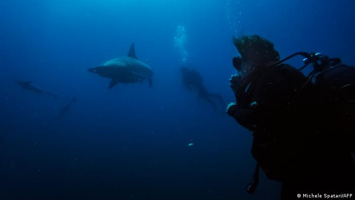 Divers from the Blue Ocean Dive Resort swims with black-tip sharks and other fishes during a baited shark dive in Umkomaas