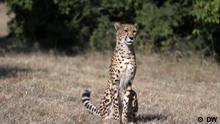 DW Eco Africa | Botswana Cheetahs