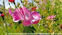 Malva Blume