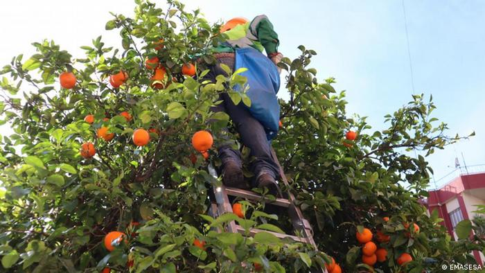 Seville oranges being collected