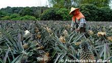Taiwan Ananas Farm und Produktion