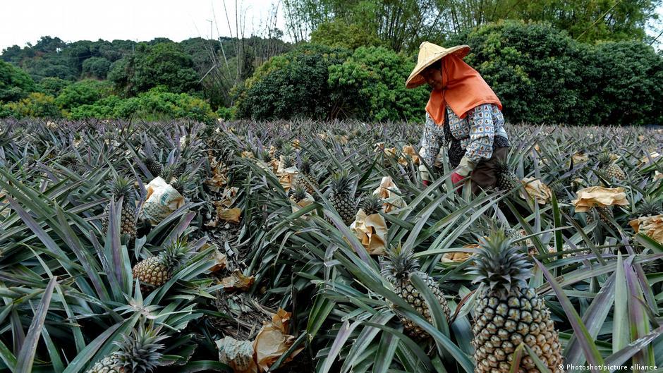 中國國台辦發言人馬曉光表示,2020年以來,中國大陸海關多次從台灣地區輸入菠蘿(鳳梨)中截獲檢疫性有害生物。