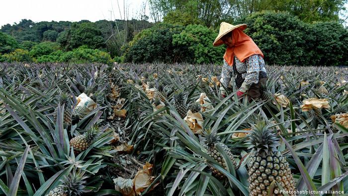 台湾凤梨对中国大陆出口占总出口量九成以上