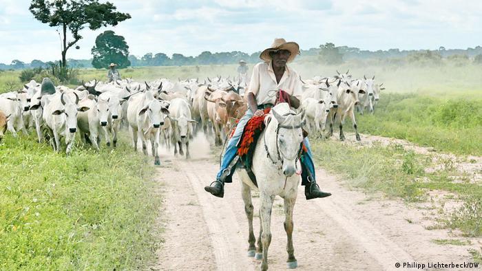 Vaqueiro conduz gado pelo Pantanal