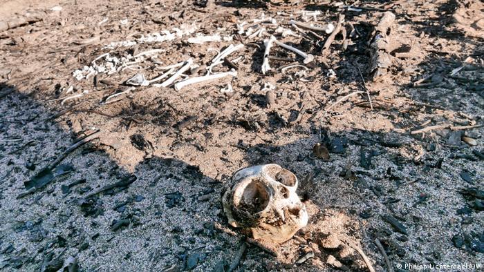 Esqueleto de um raro macaco-da-noite que morreu durante os incêndios de 2020