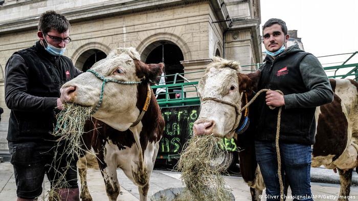 Протести в Ліоні - корови їдять сіно на площі Ліона