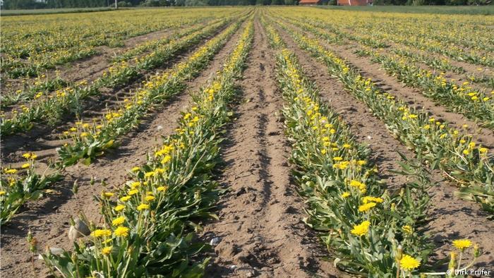 Fields of Russian dandelion in German countryside