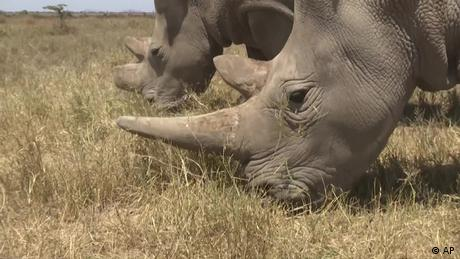 Eco Africa - Saving Kenya's white rhinos with embryos
