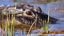 Symbolbild Krokodil