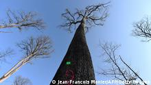 This picture taken on March 8, 2021 shows a 230 years old Sessile oak tree selected the week before to be used in the reconstruction of Notre-Dame de Paris Cathedral in the Foret de Berce, near Jupilles. - A total of 1000 oaks are due to be hacked down by the end of March to rebuild the spire and roof of the cathedral, which was ravaged by fire in April 2019. Oaks from every region of France are being used to rebuild the cherished national monument, around half from state land and the rest from private donations. (Photo by JEAN-FRANCOIS MONIER/AFP via Getty Images)
