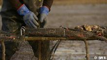 Fokus Europa Großbritannien Austernfischer